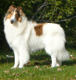 White Coated Collies